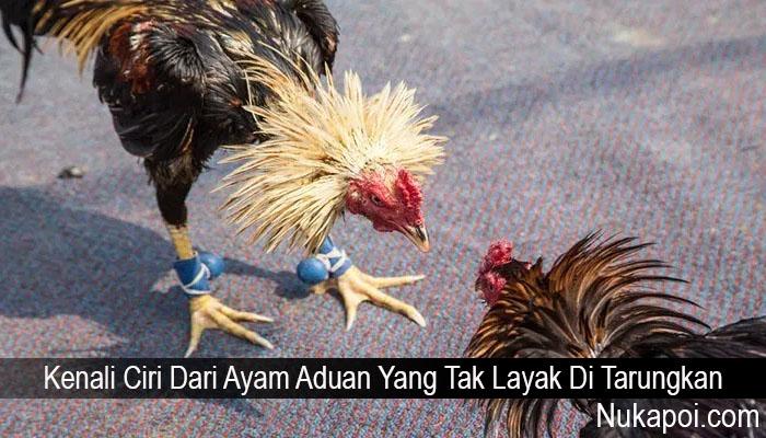 Kenali Ciri Dari Ayam Aduan Yang Tak Layak Di Tarungkan