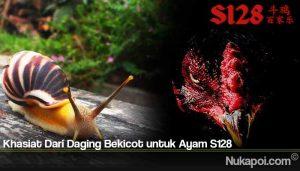 Khasiat Dari Daging Bekicot untuk Ayam S128