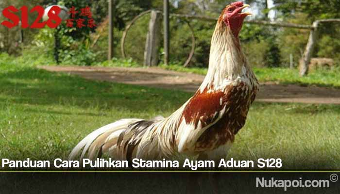 Panduan Cara Pulihkan Stamina Ayam Aduan S128