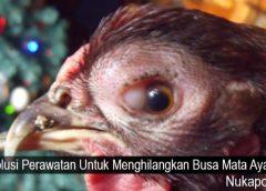 Solusi Perawatan Untuk Menghilangkan Busa Mata Ayam