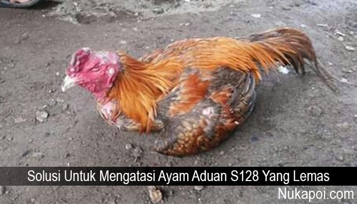 Solusi Untuk Mengatasi Ayam Aduan S128 Yang Lemas
