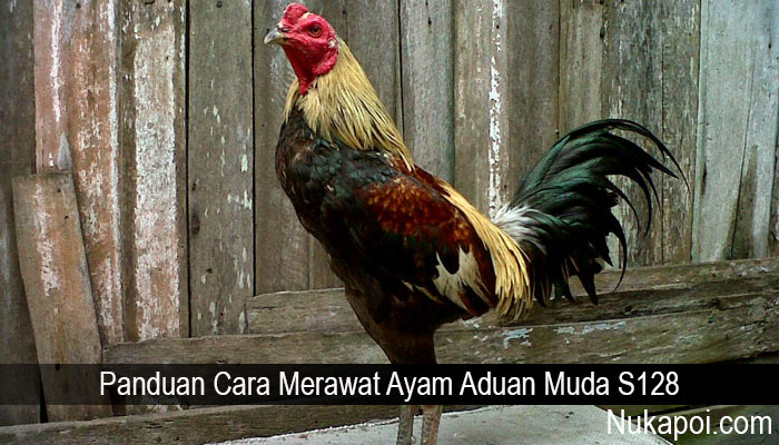Panduan Cara Merawat Ayam Aduan Muda S128